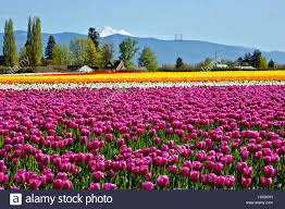 washington colorful field of tulips blooming at roozengaarde