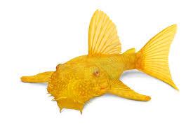 poisson eau douce aquarium tropical poissons d eau douce tropicaux d aquarium de bristlenose d