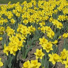 daffodil king alfred yellow bed border healthy flowers
