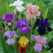 shop 5 count iris bulbs at lowes
