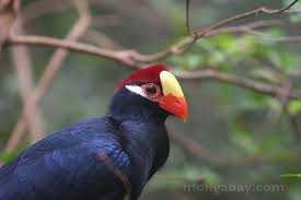 Violet Turaco Musophaga Violacea Of Tropical West Africa