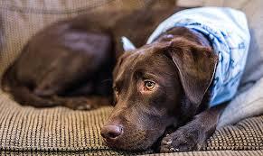 nettoyer pipi de chien sur canapé canape inspirational repulsif chien canapé high resolution