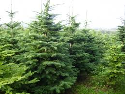 Nordmann Fir Christmas Tree Smell by Looking For A Real Christmas Tree Then Look No Further Agriland