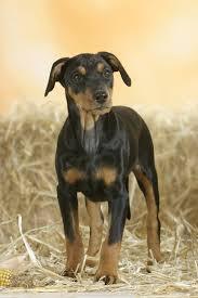 Do Miniature Pinschers Shed by 35 Best Medium Sized Dog Breeds List Of Popular Cute Medium