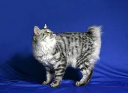bobtail cat kurilian bobtail cat breed profile and facts