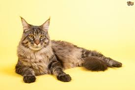 Do Maine Coons Shed Their Mane by Maine Coon Cat Breed Information Buying Advice Photos And Facts