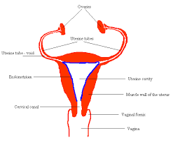 Thick Uterine Lining Shedding During Period by 12 Uterine Lining Shedding During Period Uterine Lining