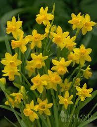 tete a tete daffodil jumbo pack 82101