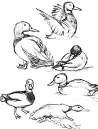 How To Draw Mallard Duck Coloring Pages