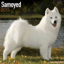 Do Samoyeds Shed All The Time by Samoyed Calendar Breed Specific Samoyed Calendar 2016 Wall