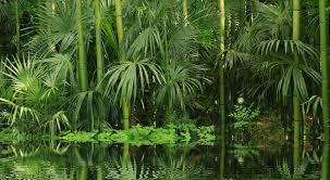 entretien des bambous en pot bambou entretien arrossage et rempotage