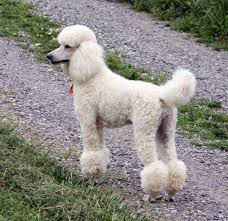 No Shed Dog Breeds Large by Hypoallergenic Dog Breeds Luv My Dogs