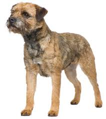 border terrier information facts pictures training and grooming