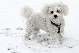 Small Non Shedding Dogs by List Of All Types Of Small Dog Breeds