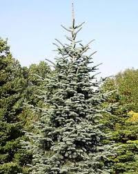 Image Is Loading Noble Fir Abies Procera Tree Seeds Christmas