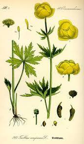 Trollius Asiaticus With Roots