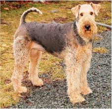 Airedale Terrier Non Shedding by 186 Best Airedales Images On Pinterest Airedale Terrier