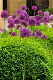 worcester college gardeners allium hollandicum purple sensation