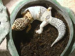 Crested Gecko Halloween Morph For Sale Uk by Recently Hatched Baby Mack Snow Leopard Gecko Breeding Projects