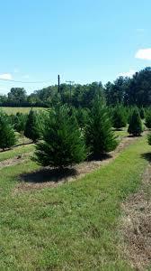 Leyland Cypress Christmas Tree Farm by Member Of South Carolina Christmas Tree Association