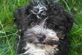 Dogs That Shed Minimally by Small Dog Breeds Havanese