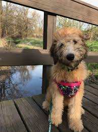 Do Irish Wheaten Terriers Shed by Our Wheatens And Whoodles As Service Dogs Celebrity Pups