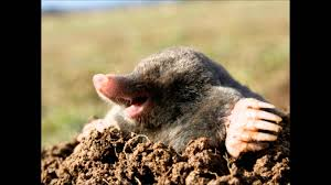 How To Get Rid Of Moles | How To Get Rid Of Moles In Yard : How To ... How To Get Rid Of Moles Organic Gardening Blog Cat Captures Mole In My Neighbors Backyard Youtube Animal Wikipedia Identify And In The Garden Or Yard Daily Home Renovation Tips Vs The Part 1 Damaging Our Lawn When Are Most Active Dec 2017 Uerstanding Their Behavior Mole Gassing Pests Get Correct Remedy Liftyles Sonic Molechaser Alinum Covers 11250 Sq Ft Model 7900
