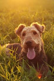 Airedale Terrier Non Shedding by 57 Best Airedale Terrier Images On Pinterest Airedale Terrier