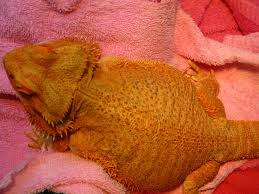 Bearded Dragon Heat Lamp Times by Beardie Active And All The Time U2022 Bearded Dragon Org