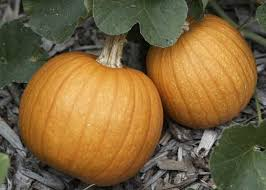 Types Of Pumpkins For Baking by Baking With Pumpkin Allrecipes