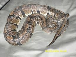 Ball Python Shedding Signs by I Just Got My First Snake Ball Python Updated W Pics