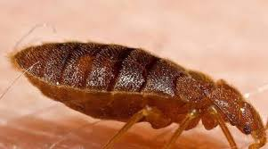 Bed Bugs Bug Insect Control & Extermination Erdye s