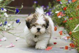 Cute Non Hypoallergenic Dogs by Hypoallergenic Dog Breeds Small Non Shedding Dog Breeds Pictures U2013 Dog