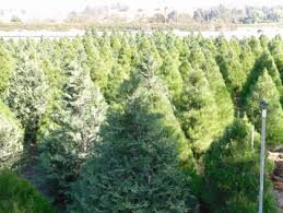 Silver Tip Christmas Tree Los Angeles by Best Places To Cut Your Own Christmas Tree In The Oc Area Cbs
