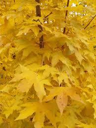 Crab Pot Christmas Trees Davis Nc by Acer Truncatum U0027kansas City Gold U0027 Has Excellent Yellow Fall Color