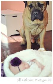 Do Bullmastiffs Shed A Lot by 43 Best It U0027s All About The Mastiff Images On Pinterest