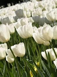 diana tulip bulbs bulk buy
