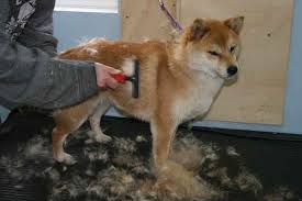 do shiba inus shed hair how to manage the shedding shiba inu shiba inu advice
