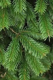 Nordmann Fir Christmas Tree Seedlings by 6 5 7 Foot Nordmann Fir Christmas Trees Green Valley Christmas