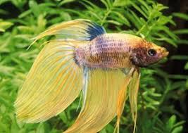 le poisson combattant jouez l élégance dans votre aquarium