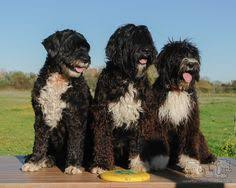 Portuguese Water Dog Non Shedding by The Portuguese Water Dog Won U0027t Trigger Your Allergies Mowgli
