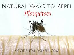 Natural Ways To Repel Mosquitoes • Accidentally Green How To Remove Mosquitoes From Your Backyard Youtube 25 Unique Mosquito Spray Ideas On Pinterest Natural Mosquito Keep Mosquitoes Out Of Your Yard For A Month And Longer With Ways Repel Accidentally Green To Get Rid Of Bugs In Backyard Enjoy Bbq Picture With Gnats In The House Kitchen Plants Organically 9 Steps Pictures Best Sprays Insect Cop 27 Banish From Next Barbecue Roaches Fleas Ants Repelling Plants Plant Citronella Lemongrass