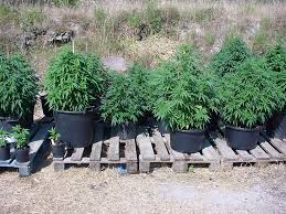 recolte cannabis exterieur date tutos guide de culture de cannabis en extérieur
