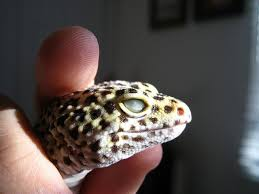 Do Leopard Geckos Shed by 57 Best Leopard Geckos Galore And More Images On Pinterest