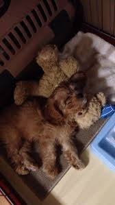 Cavapoos Do They Shed by 16 Best Dogs Images On Pinterest Cavapoo Puppies Adorable
