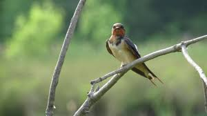 Barn Swallow (Hirundo Rustica) - YouTube European Barn Swallow Hirundo Rustica Stock Photo Royalty Free Swallow Idaho Birds Audubon Guide To North American Posing On A Fence Of Ukraine Birdwatching Alentejo Portugal Boerenzwaluw Barn Stock Image Image Young 67199779 Detailed Close Up Hinterland Whos Who Or The Uk And Ireland Male Swallows