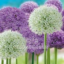 allium purple and white flower bulb information totalgreen
