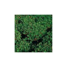 bambou nain arundinaria argenteostriata pygmaea couvre sol