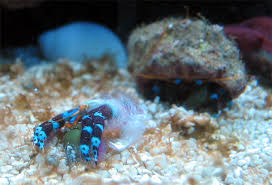 Do Hermit Crabs Shed Their Legs by Electric Blue Leg Hermit Behaviour Question Invertebrate Forum
