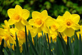 narcissus carlton large cupped daffodil